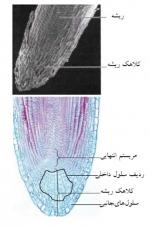 گیاهشناسی و ریخت شناسی  ریشه (موفولوژی ریشه)